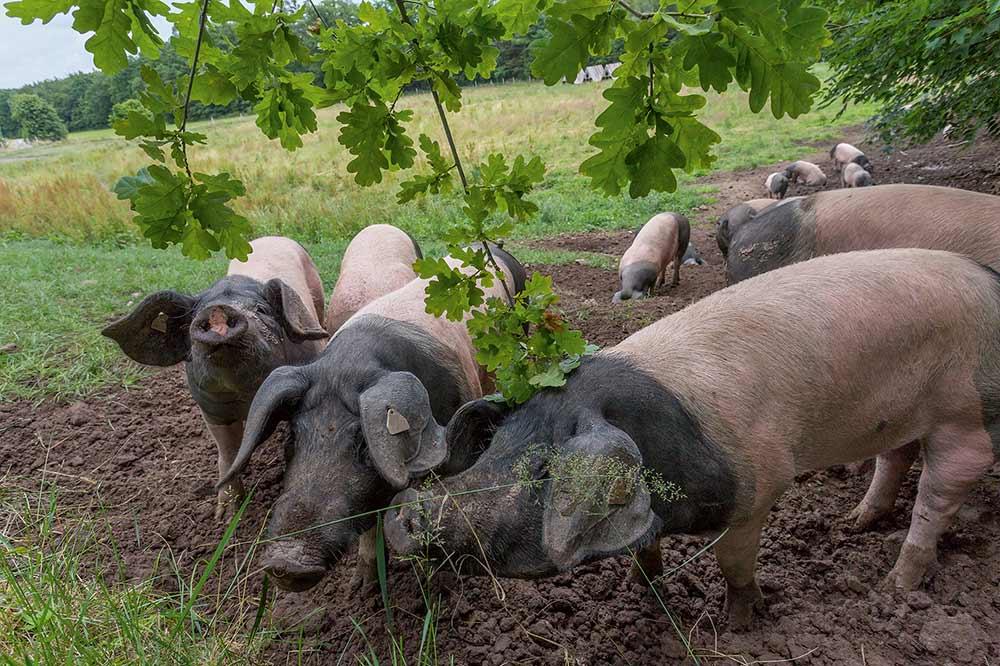 Schweine auf der Eichelweide