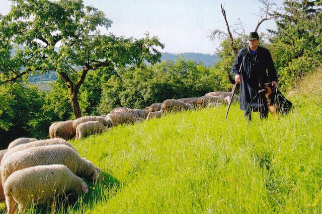 Schäfer auf der Hohenloher Weide