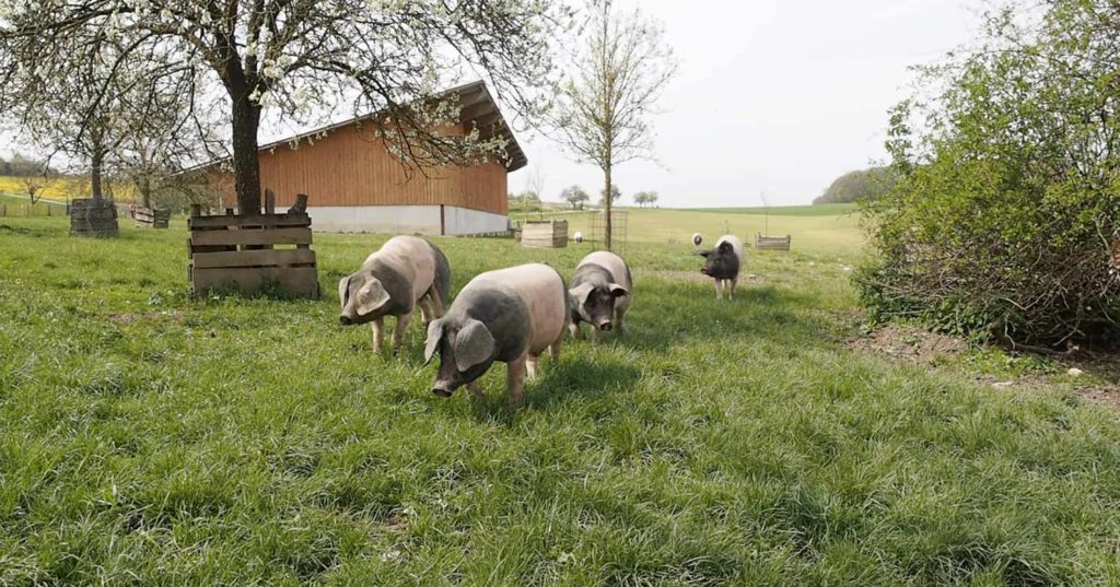 Schwäbisch Hällische Schweine auf grüner Wiese