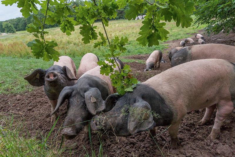 Schweine auf der Eichelweide.