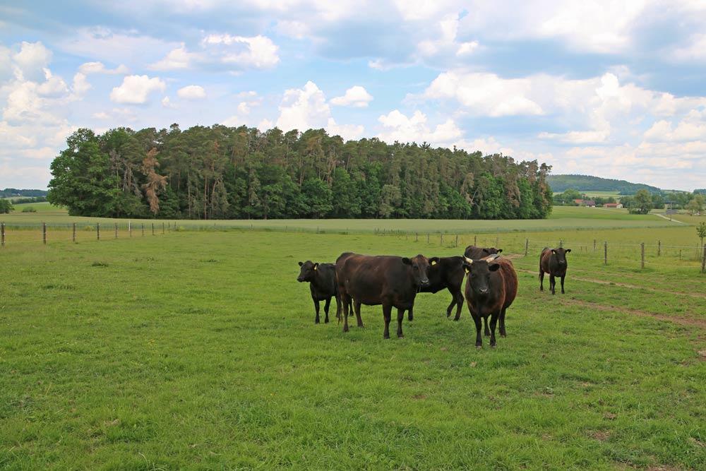 Wagyu-Rinder auf grüner Wiese